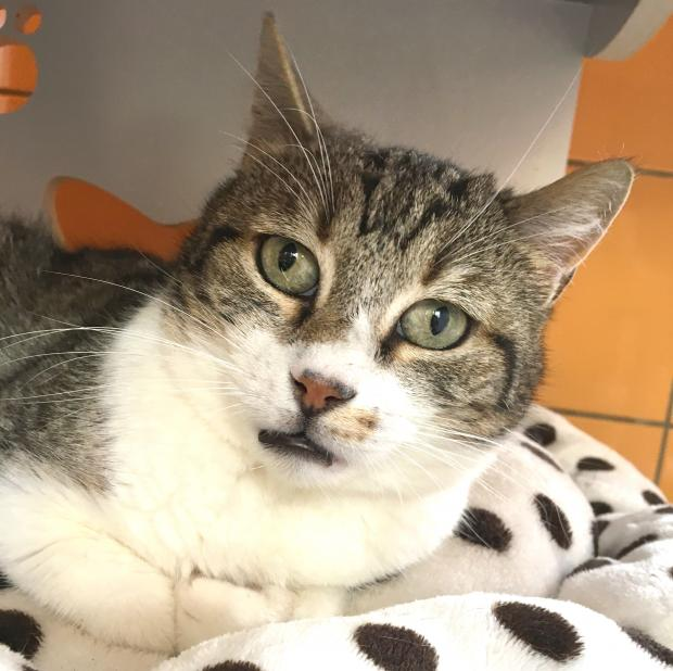 Adopter ROSWELL, chat male de 7 ans