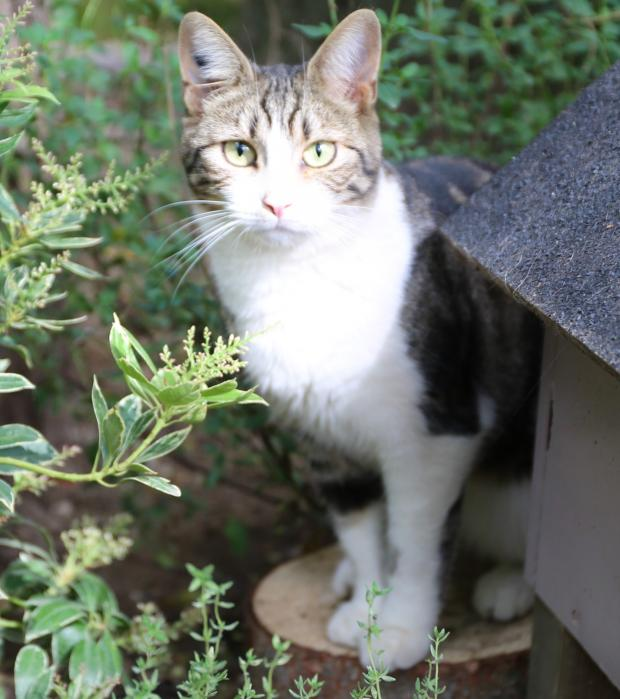 Adopter INDY, chat femelle de 2 ans