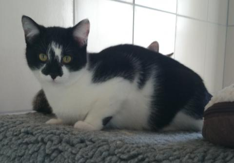 Adopter ISOLDE, chat europeen femelle de 7 ans