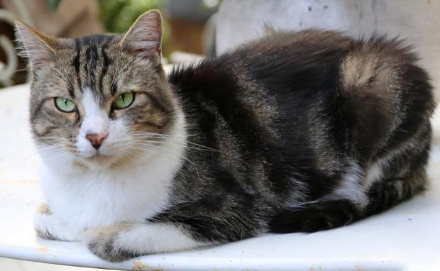 Adopter KELLER, chat male de 5 ans