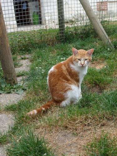 Adopter KITKAT, chat europeen male de 6 ans