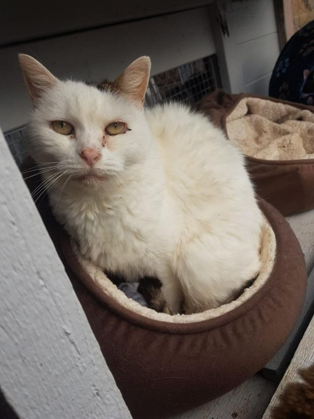 Adopter KOALY, chat femelle de 15 ans