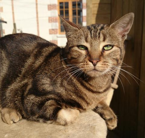Adopter LAYLA, chat femelle de 4 ans