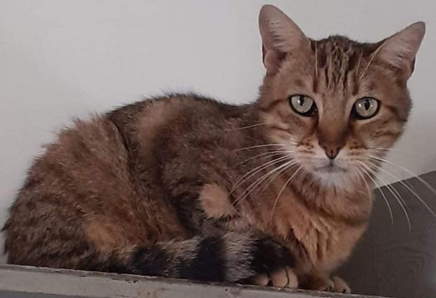 Adopter LECTER, chat male de 10 ans