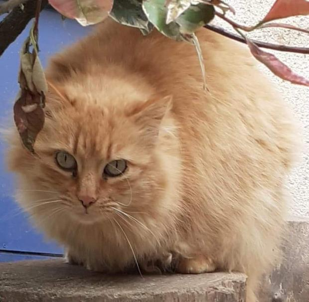 Adopter LITCHI, chat male de 7 ans