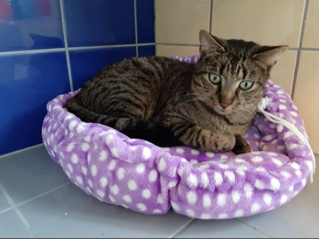 Adopter louis, chat male de 4 ans