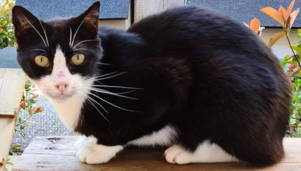 Adopter LUCIUS, chat europeen male de 7 ans
