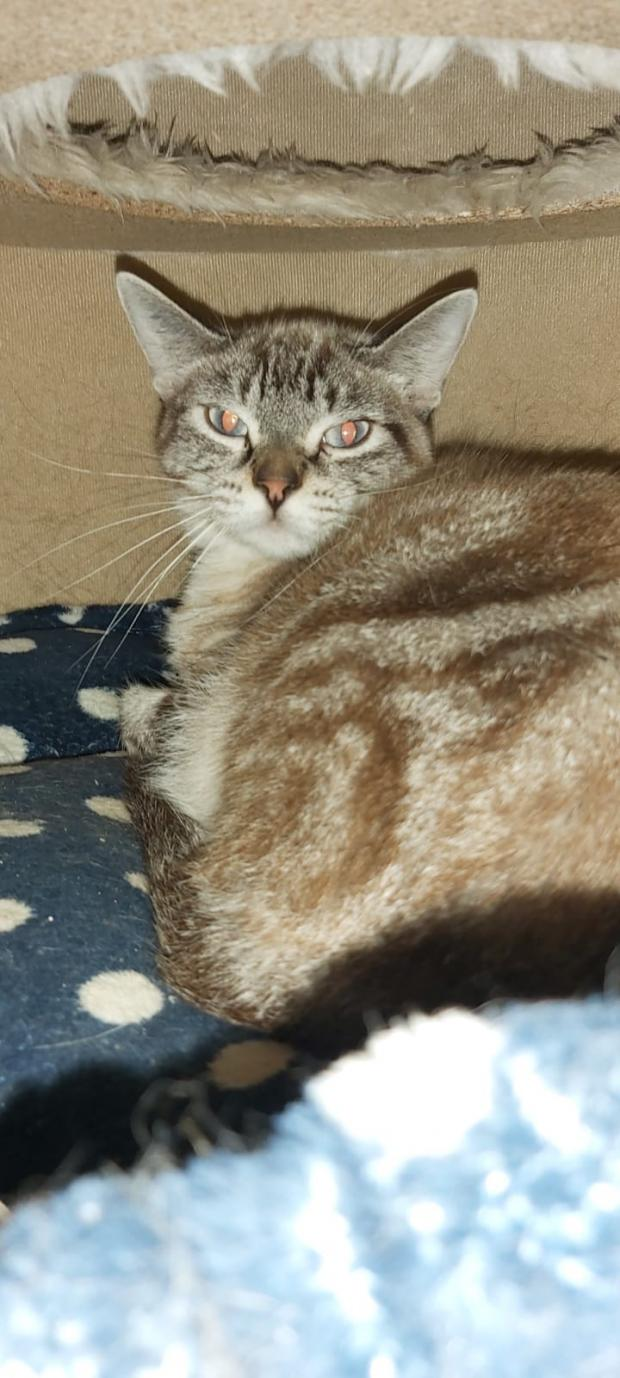 Adopter LIZZIE, chat siamois femelle de 3 ans
