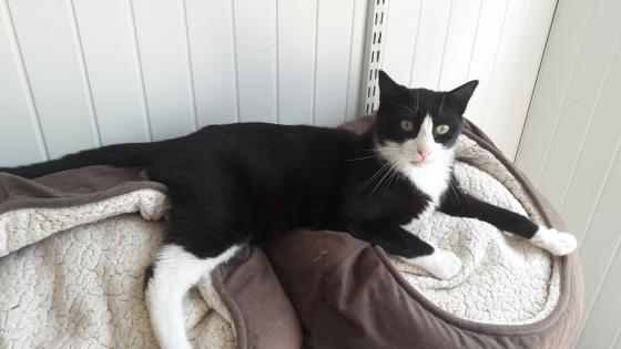 Adopter LUCIUS, chat europeen male de 4 ans