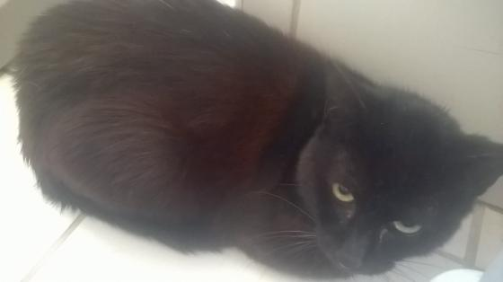 Adopter LUTIN, chat europeen male de 9 ans