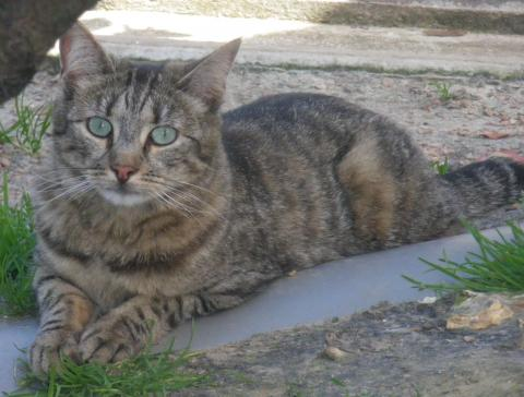 Adopter MERLOTTE, chat male de 6 ans