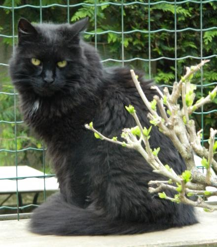Adopter MAMBO, chat europeen male de 16 ans