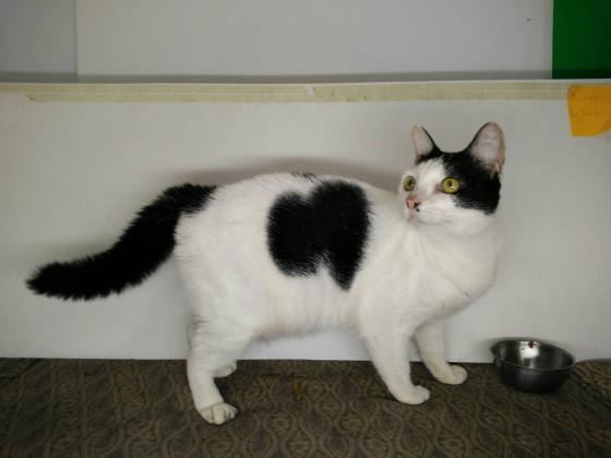 Adopter Manow, chat femelle de 4 ans