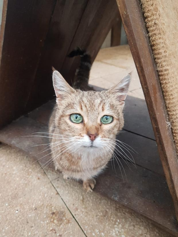 Adopter mayans, chat male de 9 ans