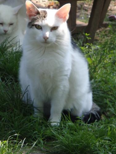 Adopter MERLIN, chat europeen male de 19 ans