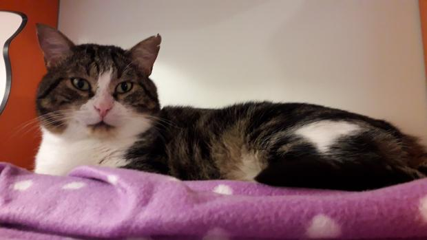 Adopter mimito, chat europeen male de 11 ans