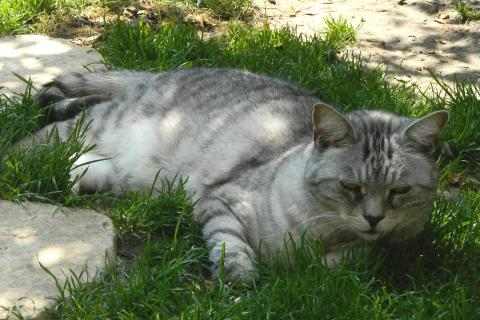 Adopter MINOU GRIS, chat male de 10 ans