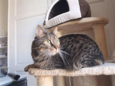 Adopter NEKO, chat europeen male de 8 ans