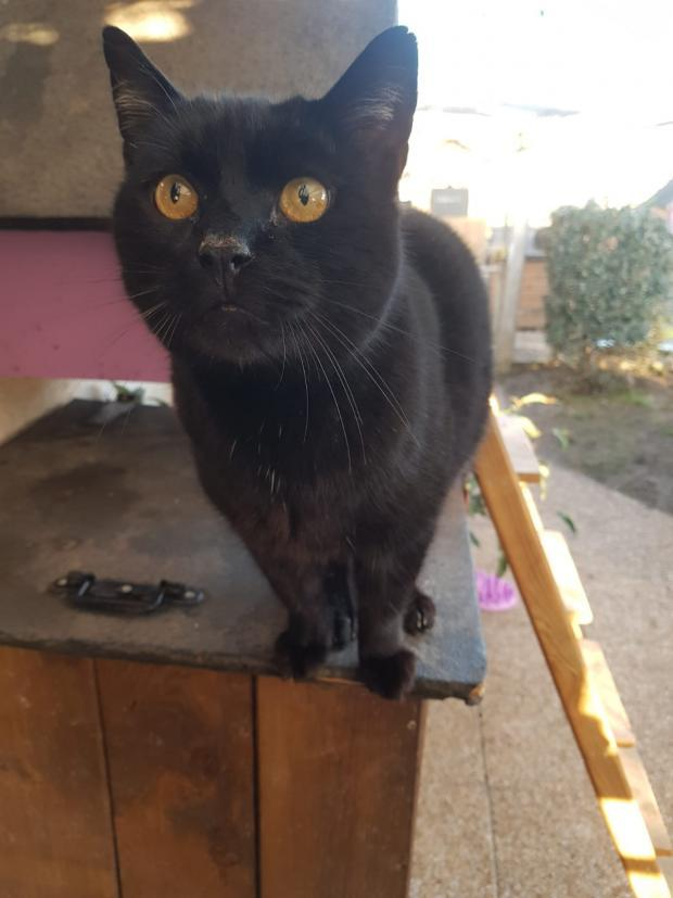 Adopter NOE, chat europeen male de 9 ans
