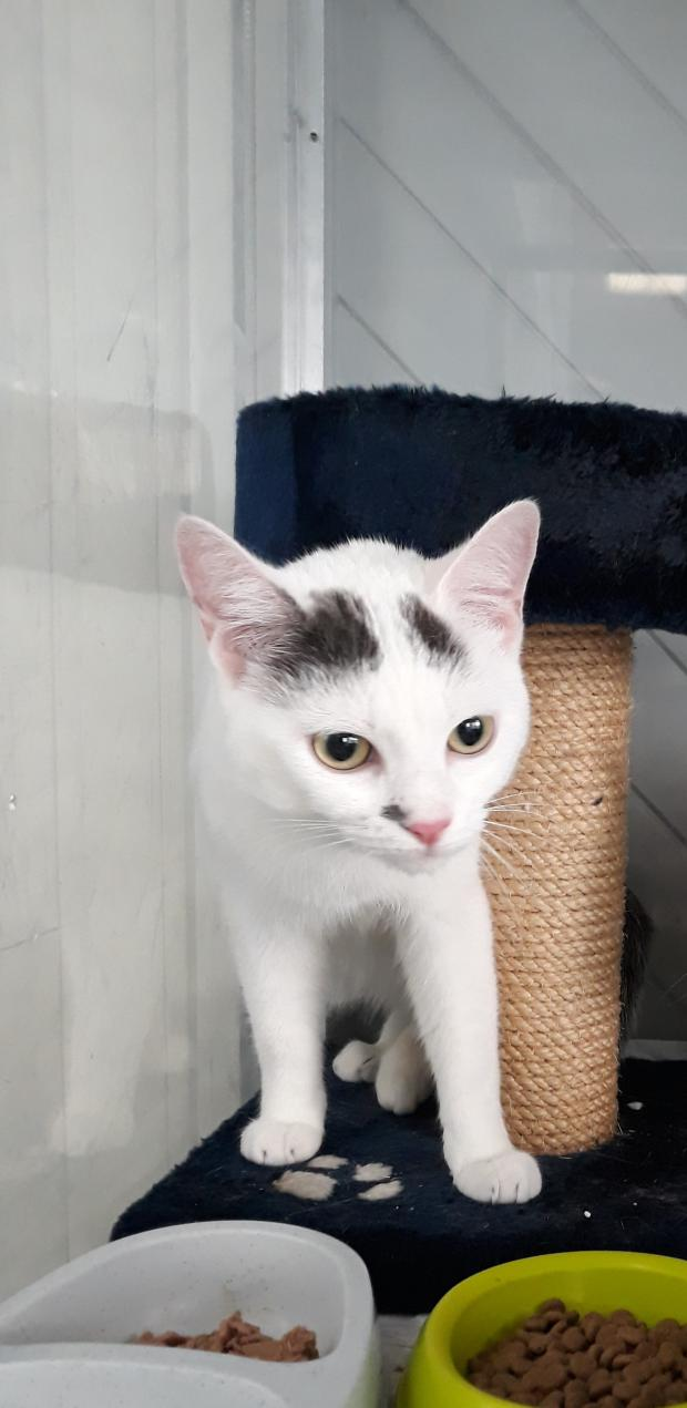 Adopter ODIE, chat europeen femelle de 1 an