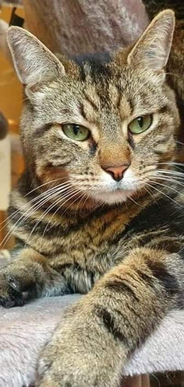 Adopter ODYSSEE, chat europeen male de 6 ans