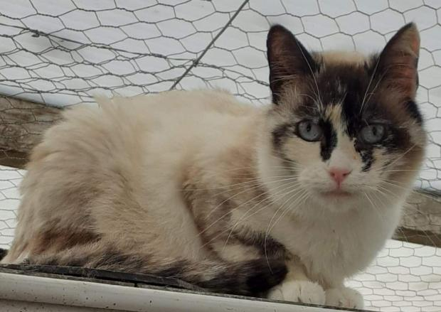 Adopter OGGY, chat siamois femelle de 7 ans