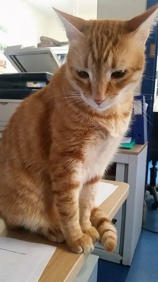 Adopter O MALLEY, chat europeen male de 8 ans