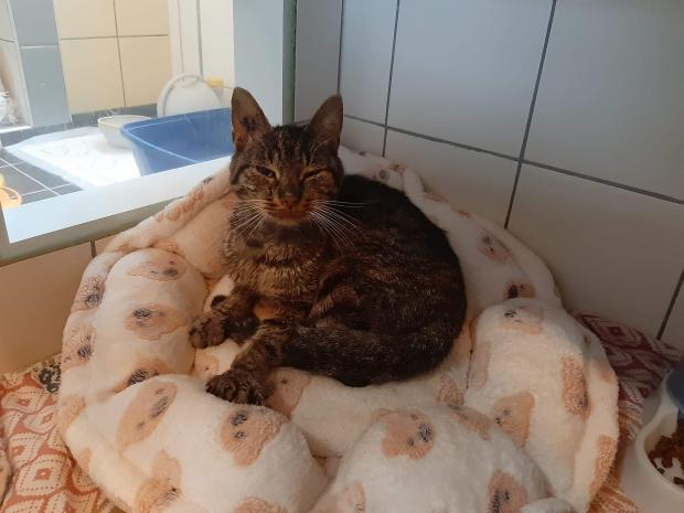 Adopter oreo, chat male de 8 ans