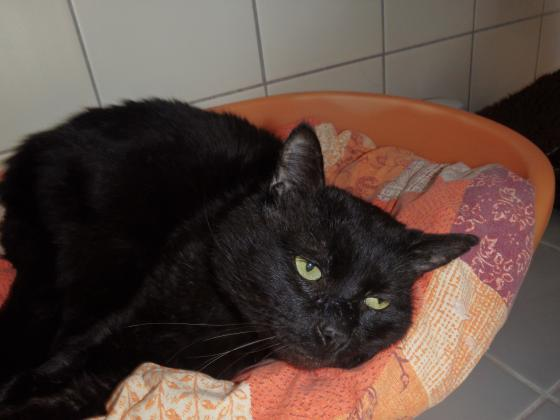 Adopter NEMO, chat europeen male de 11 ans