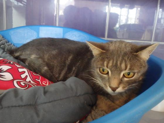 Adopter ABBY, chat europeen male de 8 ans