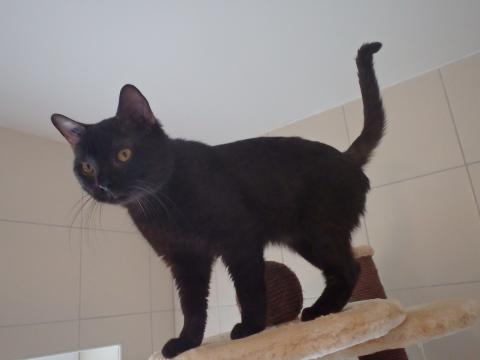 Adopter LOULOU, chat europeen male de 2 ans