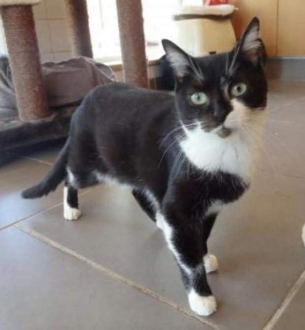 Adopter LITTLE, chat europeen femelle de 9 ans