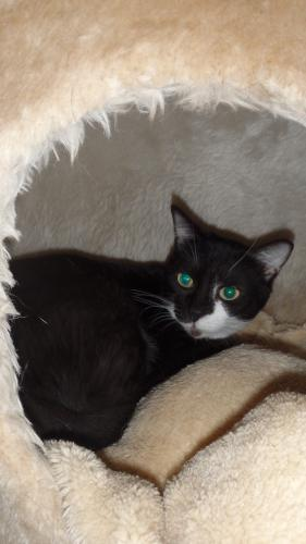 Adopter LITTLE, chat europeen femelle de 6 ans