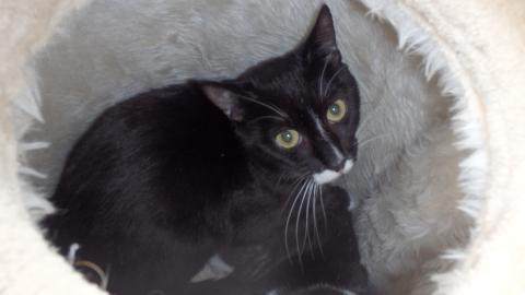 Adopter COQUIN, chat europeen male de 5 ans