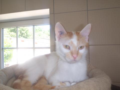 Adopter FLAMBY, chat europeen male de 5 ans