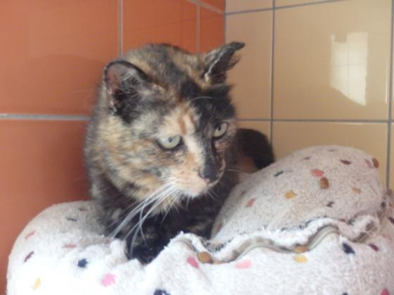 Adopter MADISSON, chat femelle de 8 ans