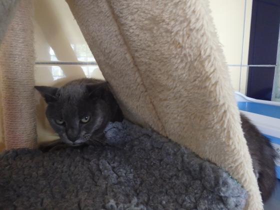 Adopter PTIT BOUT, chat europeen male de 8 ans