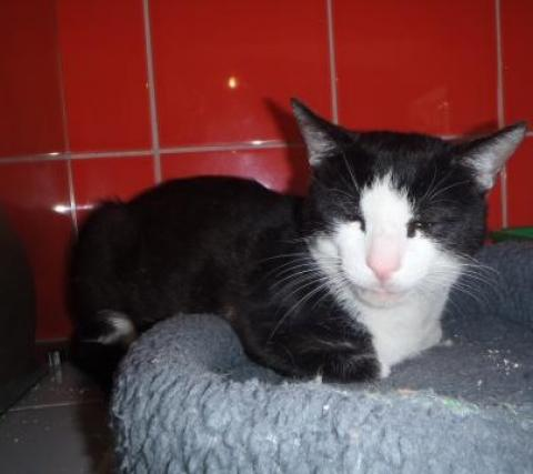 Adopter MICKEY, chat europeen male de 4 ans