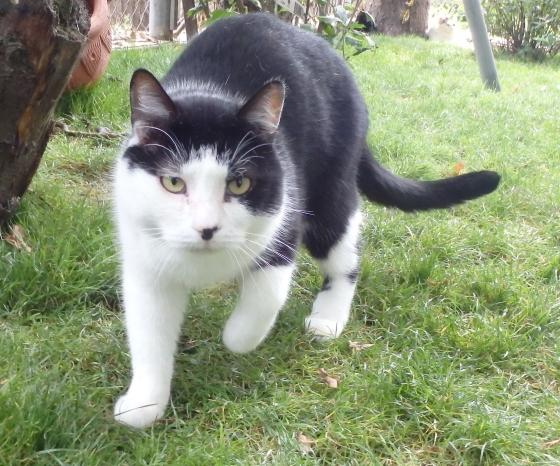 Adopter DOUDOU, chat europeen male de 7 ans