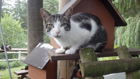 Adopter DRAKKAR, chat europeen male de 4 ans