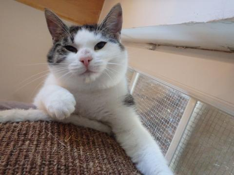Adopter CORTI, chat male de 3 ans
