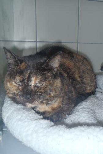 Adopter PATATE, chat femelle de 7 ans