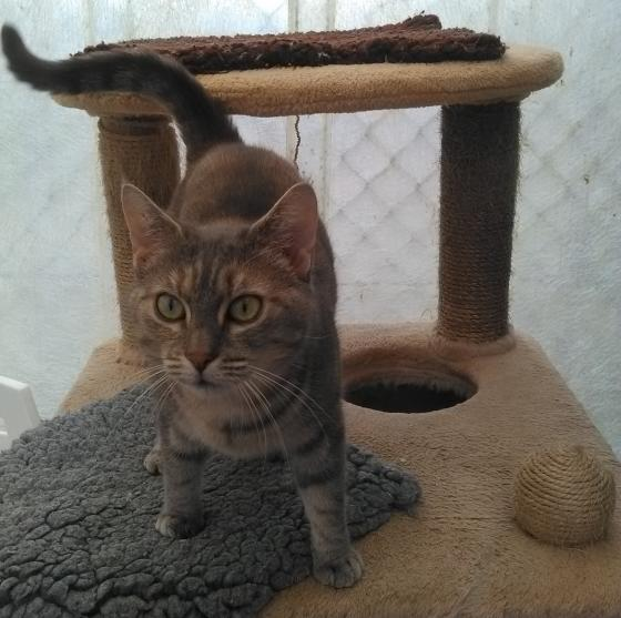 Adopter PARTY, chat europeen femelle de 5 ans