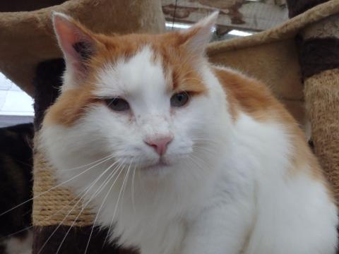 Adopter SCAR, chat europeen male de 11 ans