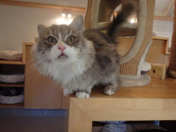 Adopter CHOUPI, chat europeen male de 5 ans