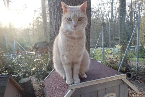 Adopter STING, chat europeen male de 11 ans