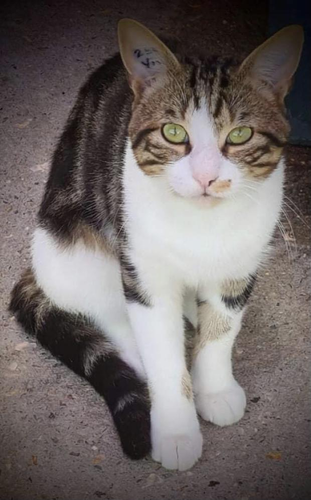 Adopter PERCEVAL, chat male de 2 ans