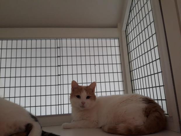 Adopter PERLE, chat europeen male de 5 ans