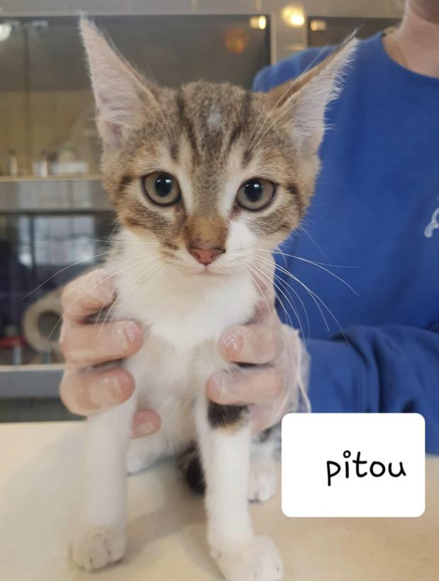 Adopter pitou, chat europeen male de 4 mois