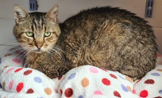 Adopter POINTILLE, chat europeen male de 10 ans